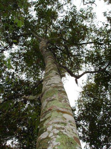 phoca_thumb_l_CASSIA-pianta-INDONESIA-1