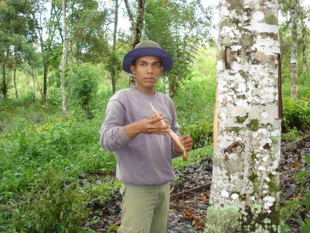 phoca_thumb_l_CASSIA-raccolta-corteccia-INDONESIA-4